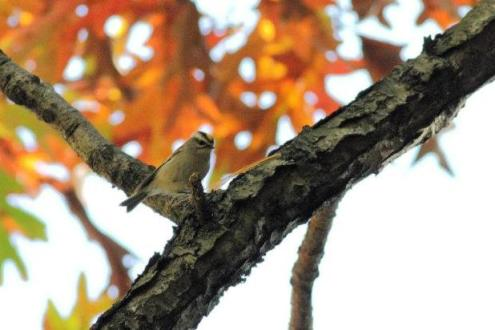 A good argument for staying north in the winter...the fall season can provide beautiful backdrops for your photos. (Golden-crowned Kinglet pictured)