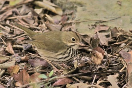 An Ovenbird foraging in the leaf litter around the Key West Botanical Gardens. (Photo by Alex Lamoreaux)