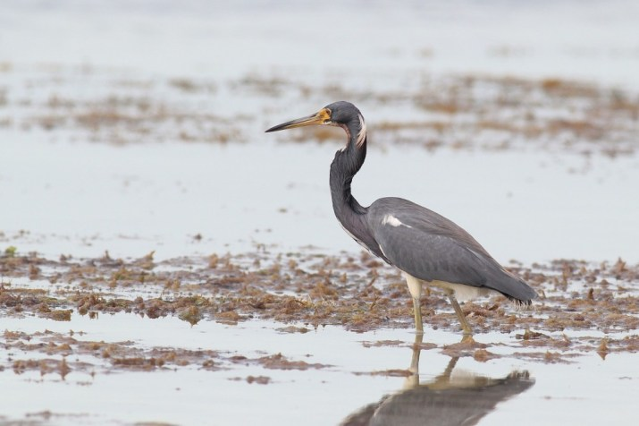 Tricolored Heron in non-breeding plumage (Photo taken in March by Alex Lamoreaux)