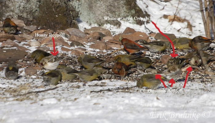 Red Crossbills, White-winged Crossbill, Hoary Redpoll and Common Redpolls