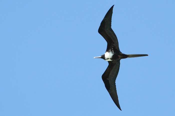 Another view of an adult female Magnificent Frigatebird. (Photo by Alex Lamoreaux)