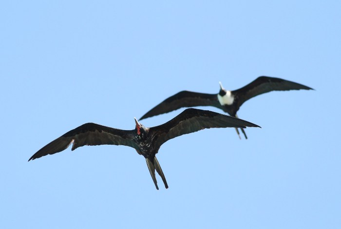 A molting adult male and an adult female Magnificent Frigatebirds gliding over the Dry Tortugas NP. (Photo by Alex Lamoreaux)