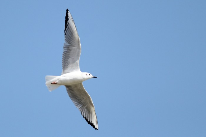 Adult Bonaparte's Gull flyover (Photo by Alex Lamoreaux)