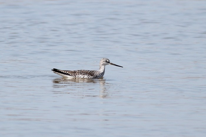 A Greater Yellowlegs wading in a little too deep....? (Photo by Alex Lamoreaux)