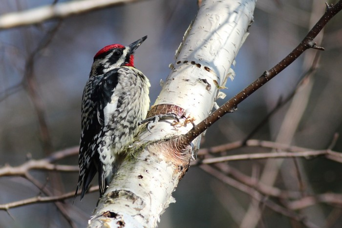 One of my personal highlights of the day was the shear number of Yellow-bellied Sapsuckers around the park. This male allowed close approach as it drank sap from a birch. (Photo by Alex Lamoreaux)