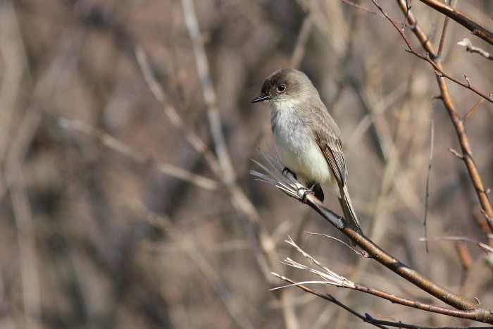 Newly-arrived Eastern Phoebes were abundant throughout the park. (Photo by Alex Lamoreaux)