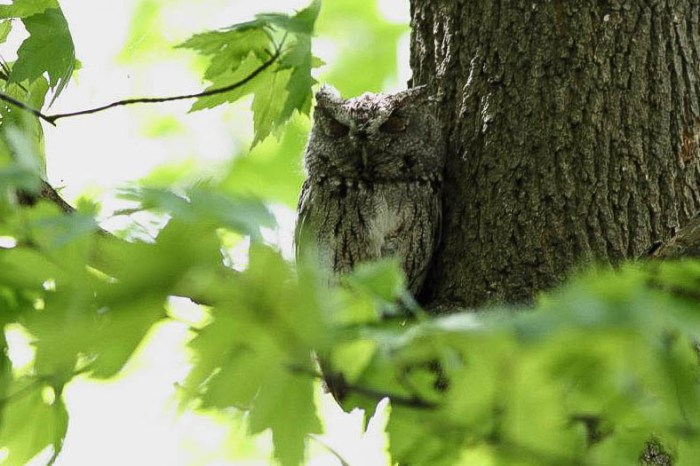 Eastern Screech-Owl  - Magee Marsh, Ohio (Photo by Anna Fasoli)