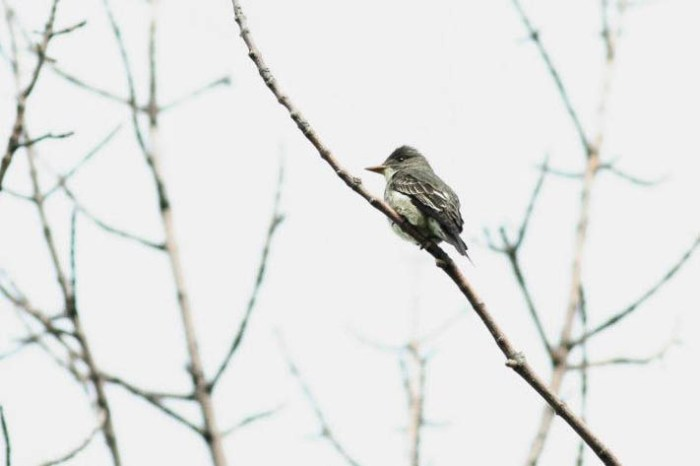 Olive-sided Flycatcher  - Magee Marsh, Ohio (Photo by Anna Fasoli)