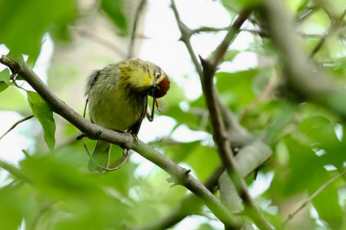 """""""What is with all the people in Ohio?"""" Palm Warbler - Magee Marsh, Ohio (Photo by Anna Fasoli)"""