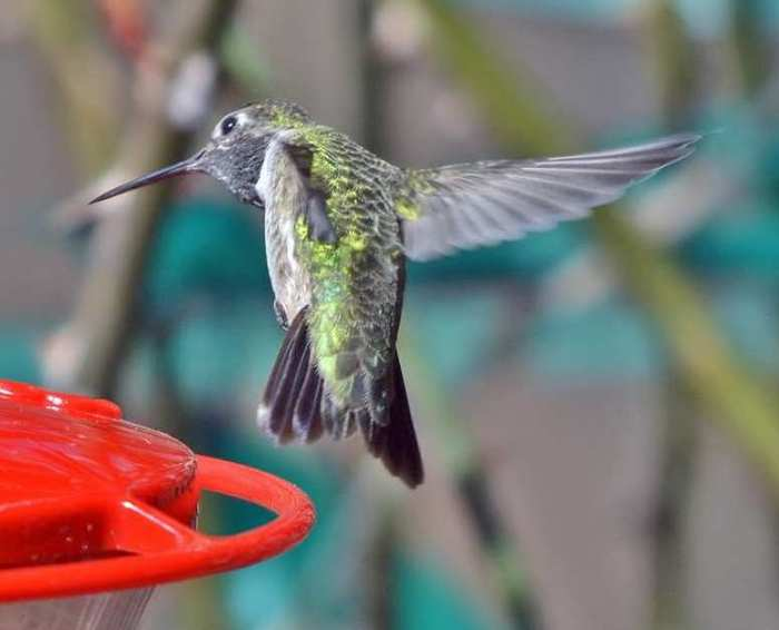 This photo, taken on April 1st, shows the bird's tail shape well. (Photo by Howard B. Eskin)