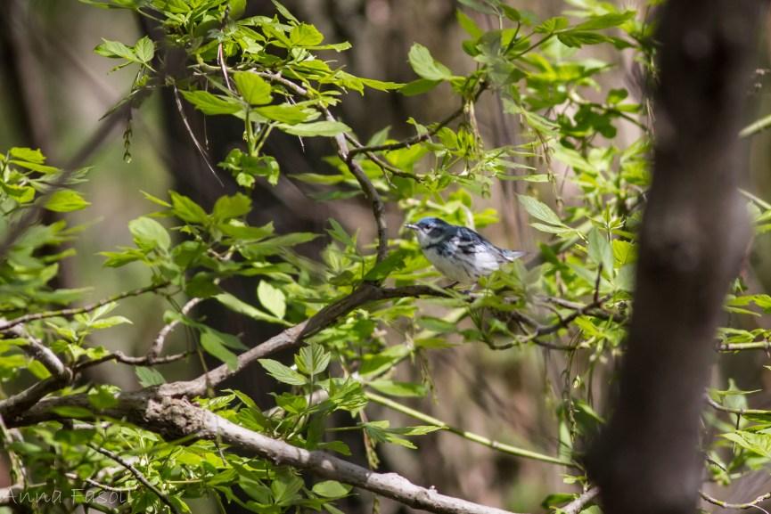 May0413 Cerulean Warbler-5