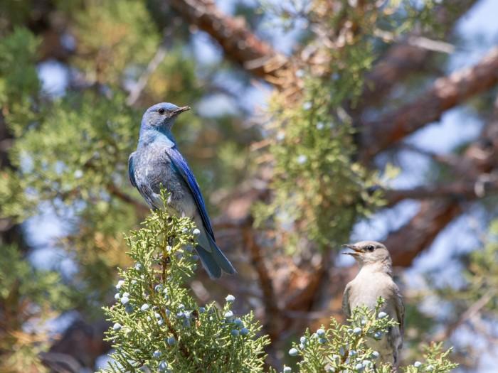 Male and Female Mountain Bluebird