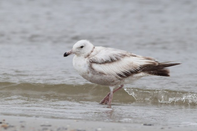 Another worn immature Herring Gull. (Photo by Alex Lamoreaux)
