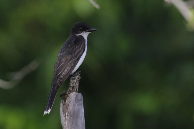 Eastern Kingbird at Sheffield Regional Park. (Photo by Alex Lamoreaux)