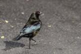 Bronzed Cowbird - Male (Photo by Alex Lamoreaux, March 2013)