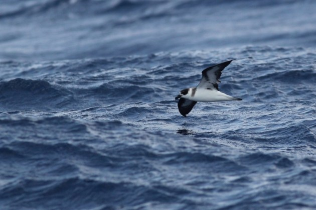 'Black-faced' Black-capped Petrel (Photo by Alex Lamoreaux)