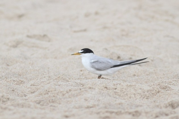 Least Tern at Indian River Inlet (Photo by Alex Lamoreaux)