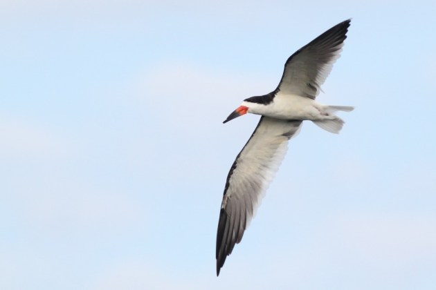 Black Skimmer (Photo by Alex Lamoreaux)