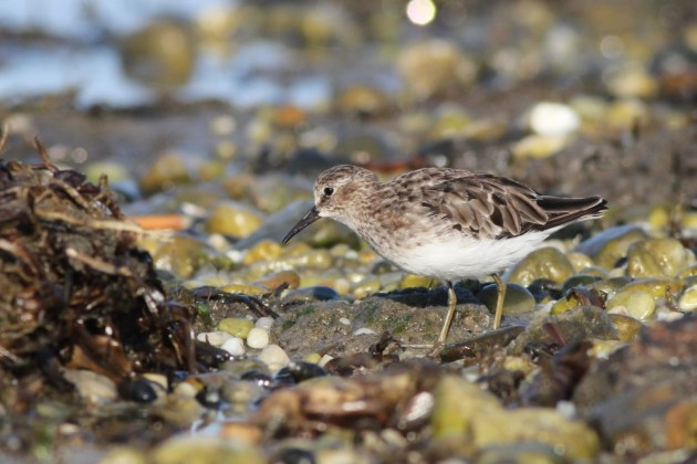 Least Sandpiper (Photo by Alex Lamoreaux)