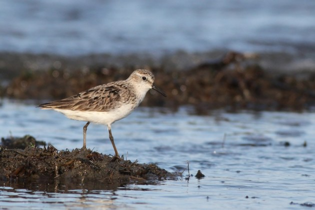 Semipalmated Sandpiper (Photo by Alex Lamoreaux)