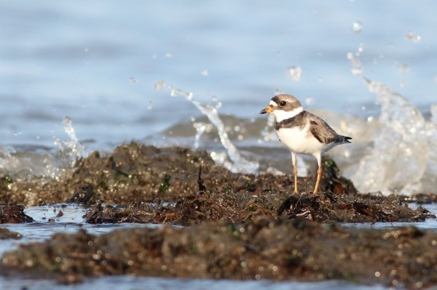 Semipalmated Plover (Photo by Alex Lamoreaux)