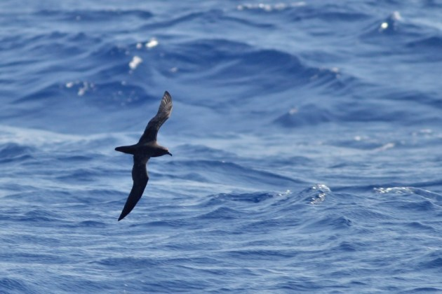 Herald 'Trindade' Petrel (dark type) - Our second Herald of the two days. (Photo by Alex Lamoreaux)