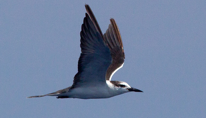 Closer photo of the first summer Bridled Tern, notice the retained outer primaries. ~20 miles ESE off Hatteras, NC (Photo by Mike Lanzone)