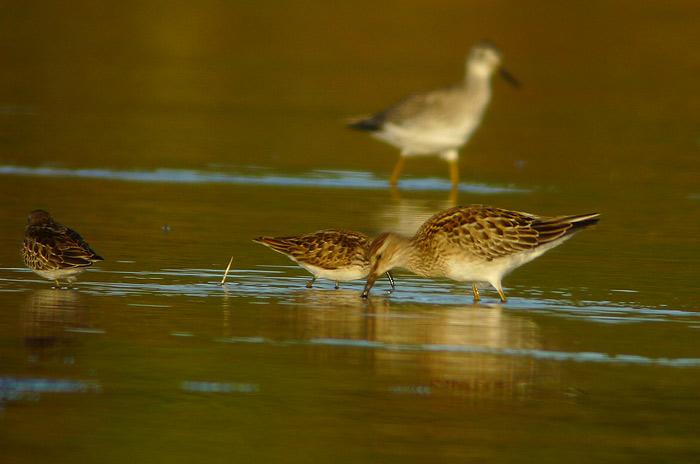 Sometimes when taking pictures of a group of birds its very difficult to make sure they are all in focus. Here I was trying for the Least Sandpiper and the Pectoral Sandpiper walked in the way. Oh well!