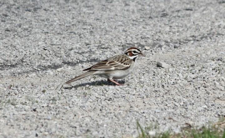 Lark Sparrow, aka clownface (photo by Steve Brenner)