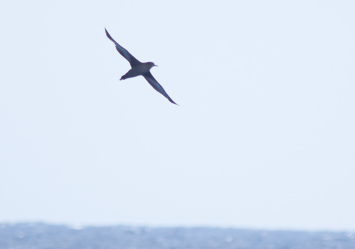 Sooty Shearwater passing the boat (Photo by Mike Lanzone)