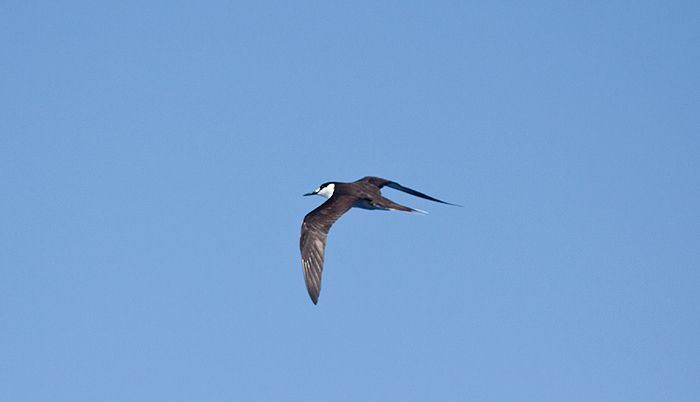 Dorsal view of an adult Sooty Tern, ~25 miles ESE off Hatteras, NC (Photo by Mike Lanzone)