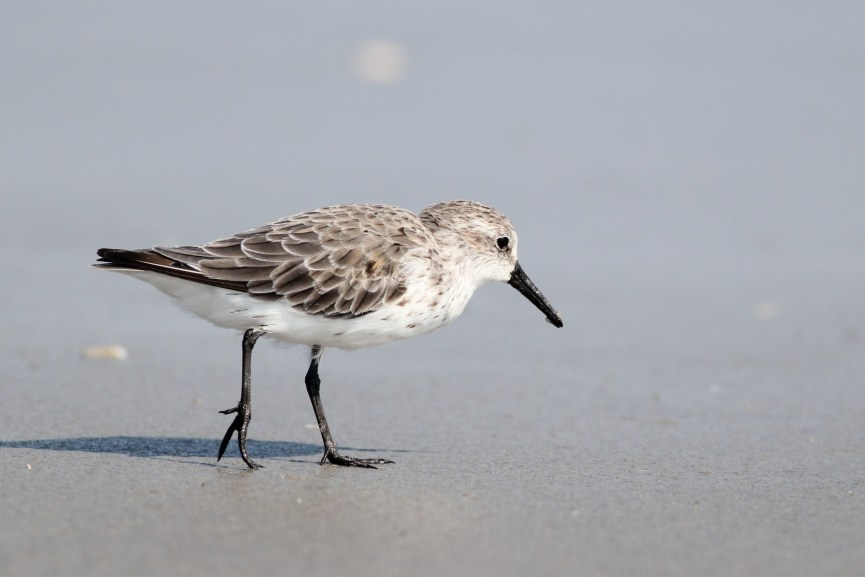 Western Sandpiper - adult (Photo by Alex Lamoreaux)