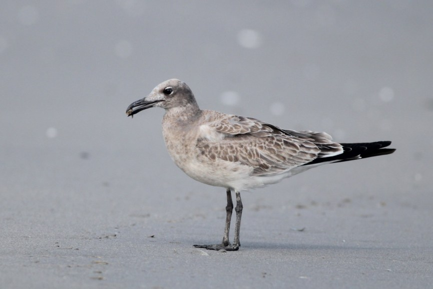 Laughing Gull - juvenile (Photo by Alex Lamoreaux)