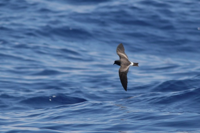 Band-rumped Storm-Petrel passing close to the boat. (Photo by Alex Lamoreaux)