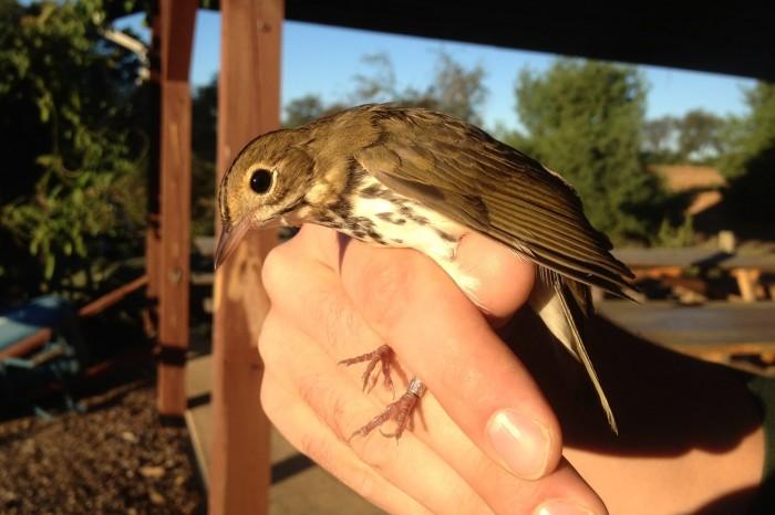 Ovenbird - adult (Photo by Alex Lamoreaux)