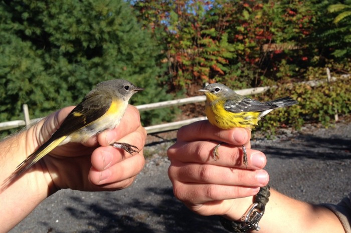American Redstart (left) and Magnolia Warbler (Photo by Alex Lamoreaux)
