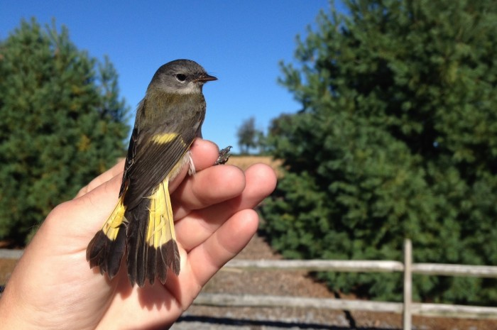 American Redstart - adult female (Photo by Alex Lamoreaux)