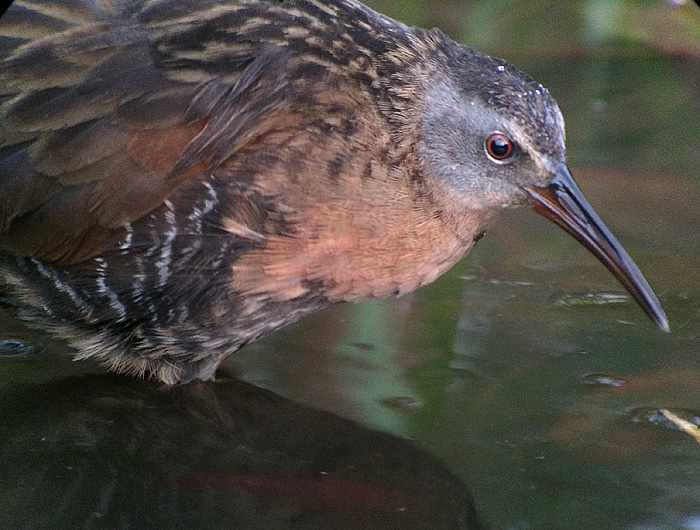 Virginia Rail, Somerset County PA. (Mike Lanzone)