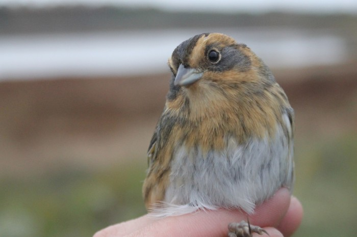 Nelson's Sparrow - adult (Photo by Alex Lamoreaux)