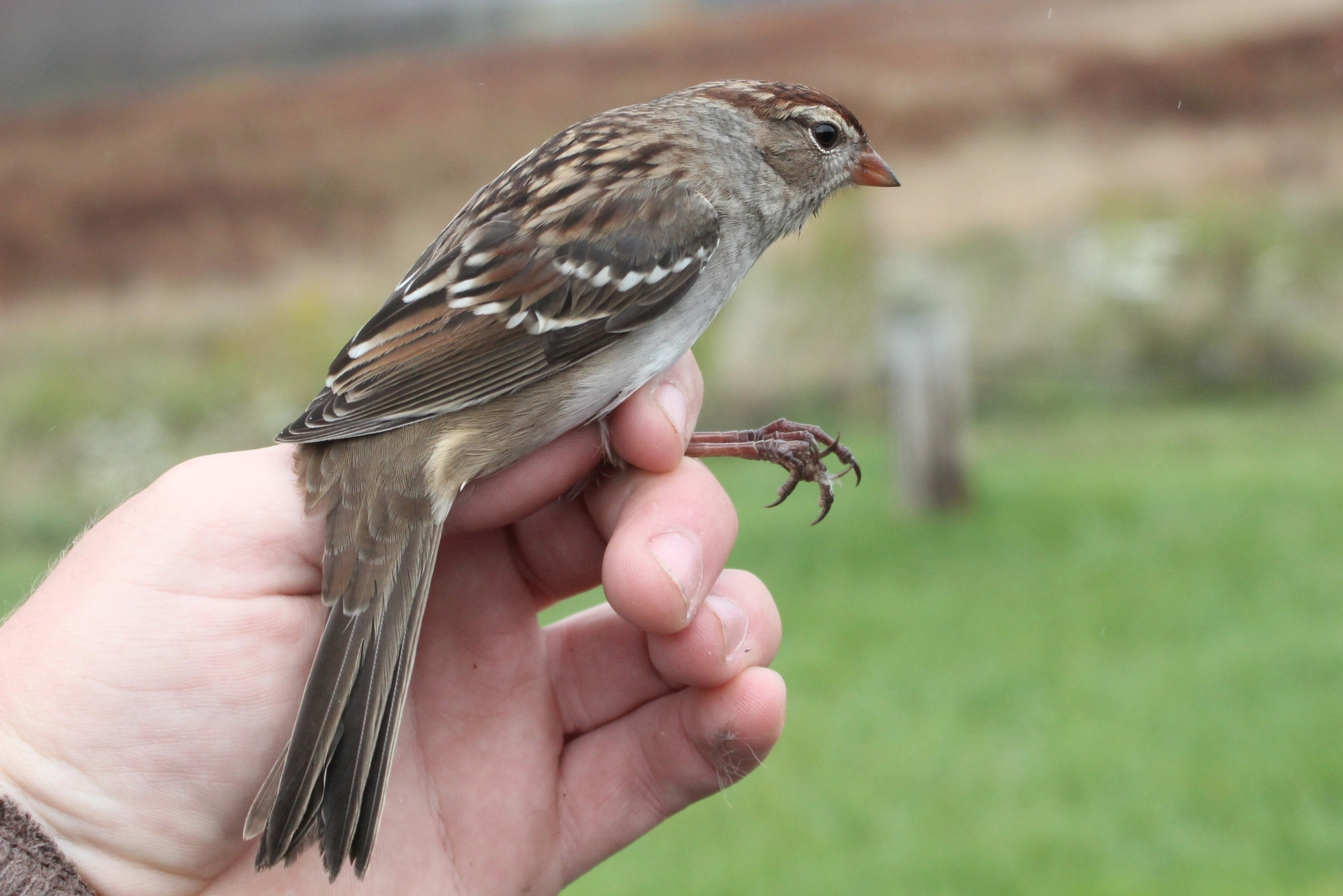 Nelson's Sparrows - PSU Fall Banding by Alex Lamoreaux ...