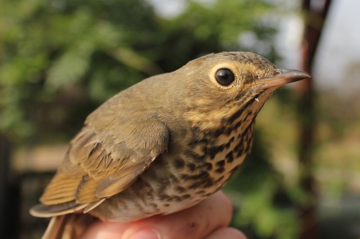 Swainson's Thrush (Photo by Alex Lamoreaux)
