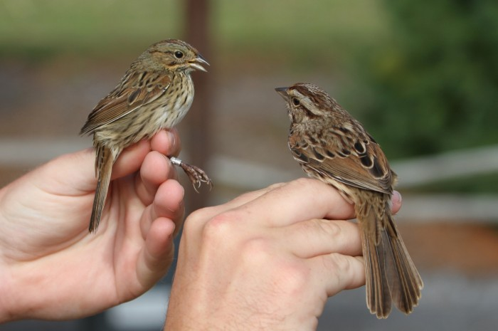 Lincoln's Sparrow (left) and Song Sparrow (Photo by Jean Miller)