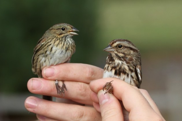 Lincoln's Sparrows (left) are slightly smaller than Song Sparrows (right), and they have much finer streaks compared to the Song Sparrow's messy, smudged streaks. (Photo by Alex Lamoreaux)