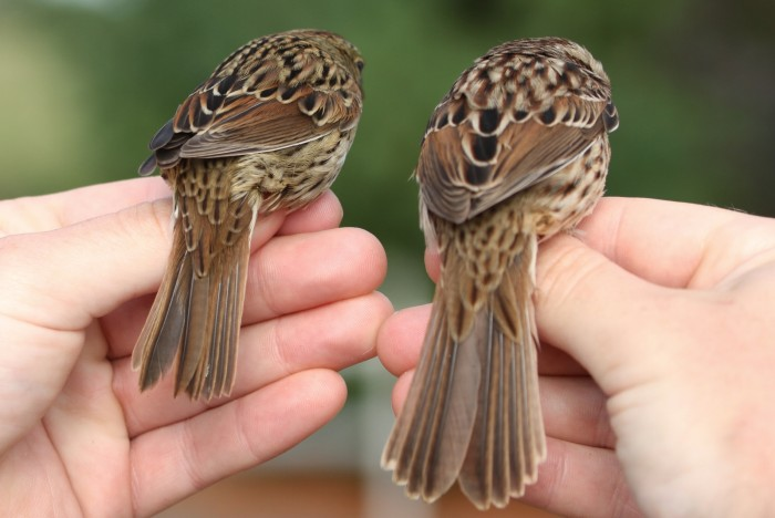 Lincoln's (left) and Song Sparrow tail comparision. The Lincoln's has a shorter, straight-edged tail and Song Sparrows have longer, rounded tails. Like the rest of the markings on a Lincoln's Sparrow, the uppertail coverts are also very fine and thin compared to the Song Sparrow. (Photo by Jean Miller)