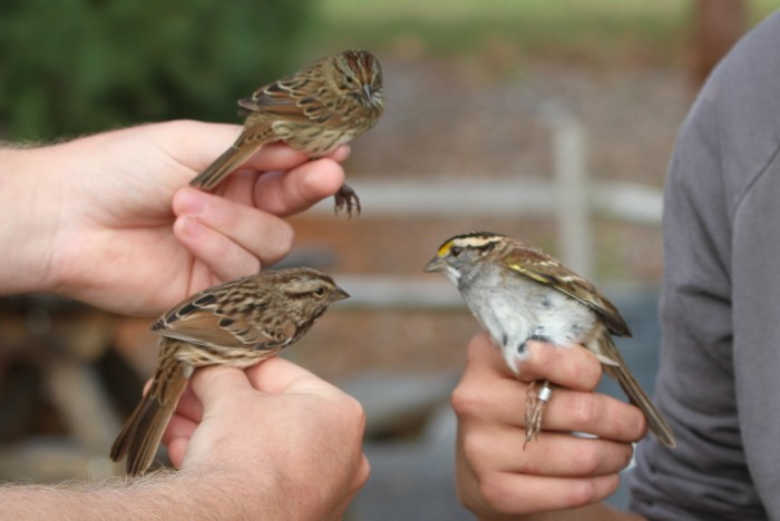 Lincoln's Sparrow (top), Song Sparrow (left), and White-throated Sparrow (Photo by Jean Miller)
