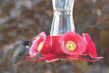Black-chinned Hummingbird (iPhone-scoped photo by Alex Lamoreaux)