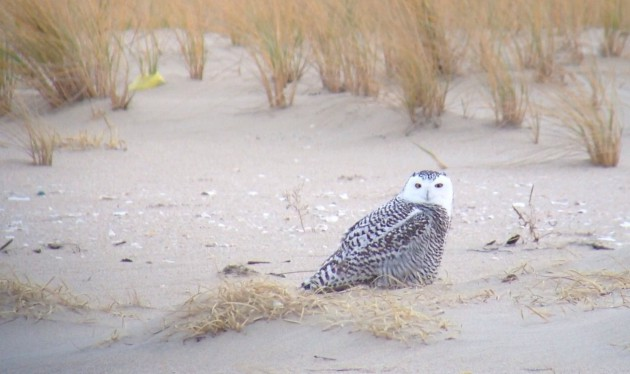 Snowy Owl - digiscoped with iPhone 4S (Alex Lamoreaux)