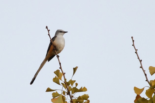 Scissor-tailed Flycatcher - adult (Photo by Alex Lamoreaux)