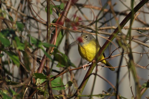 MacGillivray's Warbler - Highspire Park, PA (Photo by Alex Lamoreaux)