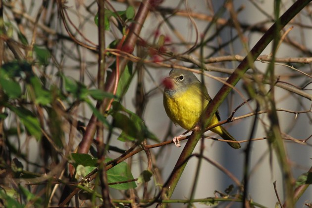 MacGillivray's Warbler - Highspire Park, PA (Photo by Alex Lamoreaux)